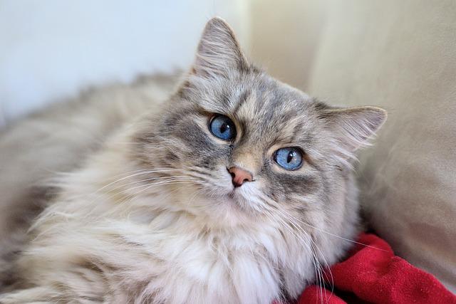 kot-długowłosy